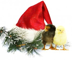 Santa's hat with chicks.